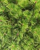 Verde del pino Immagini Stock Libere da Diritti