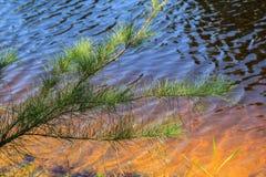 Verde del pino Fotografie Stock Libere da Diritti