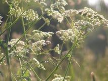 Verde del prato dell'erba La famiglia dell'ombrello immagini stock