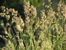 Verde del prato dell'erba La famiglia dell'ombrello immagine stock