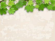 Verde del ramo di albero dell'acero sul vecchio fondo della parete Fotografia Stock Libera da Diritti