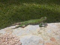 Verde del rettile delle iguane delle lucertole fotografia stock