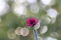 Verde del rosa de la flor del Gerbera trioplan Foto de archivo libre de regalías