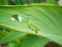 Verde del saltamontes Foto de archivo libre de regalías
