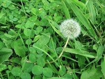 Verde del seme del primo piano di Dandylion Fotografia Stock Libera da Diritti
