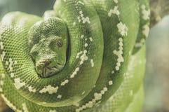 Verde del serpente Fotografia Stock Libera da Diritti