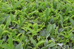 Verde del tè verde Immagini Stock Libere da Diritti