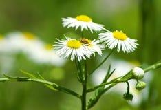 Verde del verano con las flores blancas imagenes de archivo