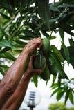 Verde dell'albero della mano del mango piccolo fotografia stock