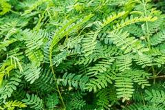 Verde dell'albero della natura Immagini Stock Libere da Diritti