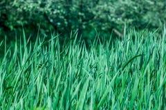 Verde dell'erba della sorgente?, fresco e sano Fotografie Stock