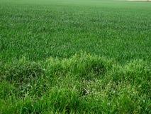 Verde dell'erba della sorgente?, fresco e sano Immagini Stock