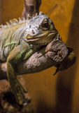 Verde dell'iguana (iguana dell'iguana) Immagini Stock