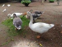Verde della famiglia di uccelli dell'anatra fotografia stock