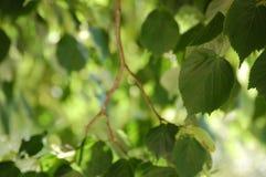 Verde della foglia Fotografia Stock