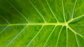 Verde della foglia del Caladium Fotografia Stock