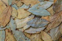 Verde della foglia di alloro Fotografia Stock