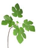 Verde della pianta isolato Fotografia Stock