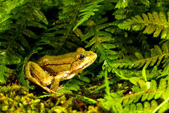 Verde della rana Fotografia Stock