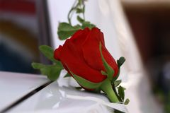 Verde della rosa rossa fotografie stock