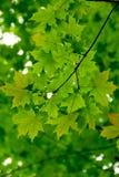 Verde delle foglie di acero Fotografia Stock Libera da Diritti