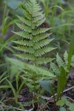 Verde delle foglie delle felci di Beautyful fotografia stock libera da diritti