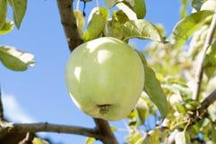 verde delle mele Fotografie Stock