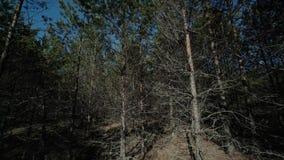 Verde di abetaia della primavera, natura, all'aperto, albero, bello, molla, ambiente, naturale stock footage