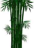 Verde di bambù in primavera ed autunno nel fondo bianco Fotografia Stock
