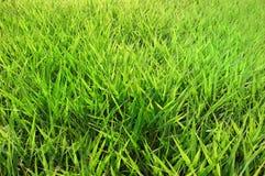 verde di erba Fotografie Stock