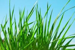 verde di erba Fotografia Stock