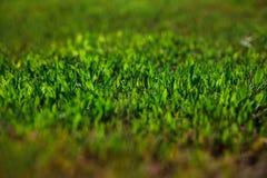 verde di erba del fuoco del primo piano selettivo Fotografie Stock