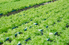 Verde di verdure Cos Lettuce Salad Leaves dell'azienda agricola Immagini Stock Libere da Diritti