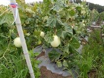 verde di viaggio della frutta del melone del cantaloop Immagine Stock