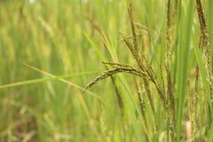 Verde do arroz Fotos de Stock
