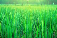 Verde do arroz do campo Fotos de Stock