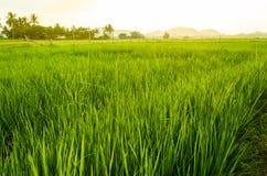 Verde do arroz orgânico Fotografia de Stock Royalty Free