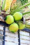Verde do coco Fotografia de Stock Royalty Free