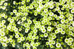 Verde do crisântemo Imagens de Stock Royalty Free