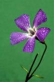 Verde do githago do Agrostemma Imagem de Stock