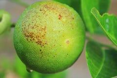 Verde do limão Imagem de Stock