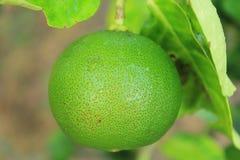 Verde do limão Imagens de Stock Royalty Free