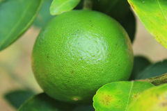 Verde do limão Fotos de Stock Royalty Free