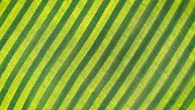 Verde do teste padrão da zebra e linhas paralelas amarelas de flor do Canola no campo da terra filme