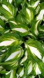 Verde e branco descascou o fundo das folhas Imagens de Stock