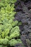 Verde e cavolo della Borgogna Immagini Stock