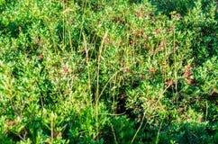 Verde e cespugli di rose fotografia stock