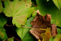 Verde e folhas de bordo de Brown fotografia de stock