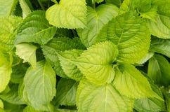 Verde e folhas frescas Fotos de Stock Royalty Free
