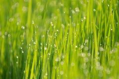 Verde e gota do arroz imagem de stock